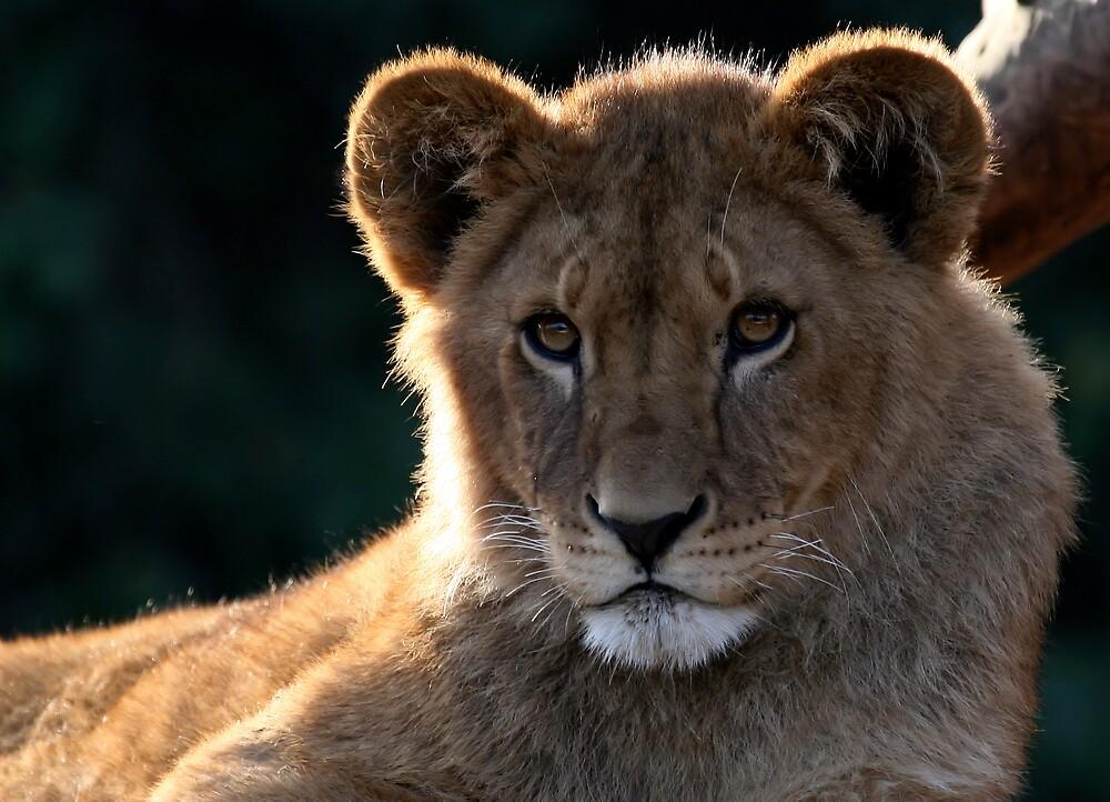 Sunburst lion by Snapshooter