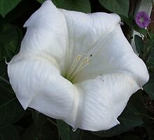 Glorious Angel Trumpet by 1FANCY1