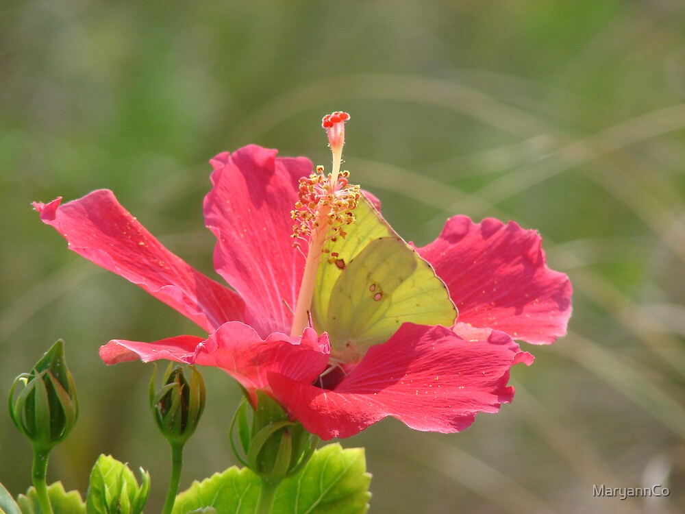 Hibiscus and butterfly ~ by MaryannCo