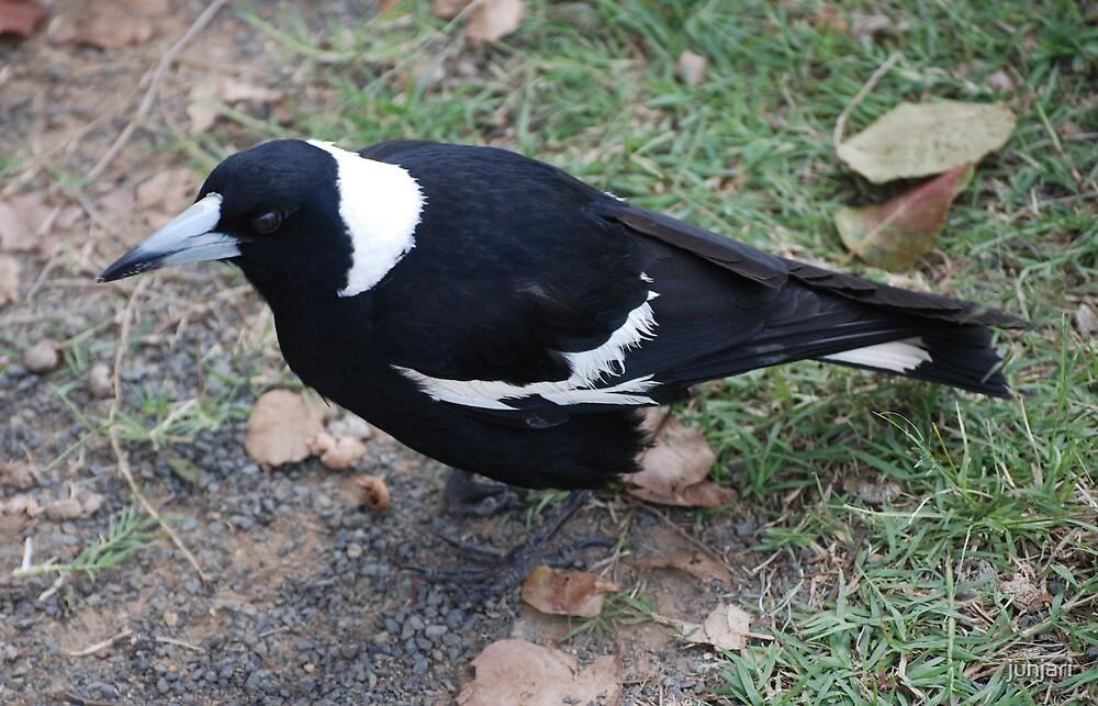 Dark eyed Magpie   by junjari