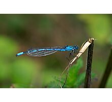 Common Blue Damselfly Number 6 Photographic Print