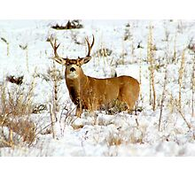 Colorado Mule Deer Photographic Print
