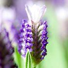 Lavender Garden 2 by Josh Prior
