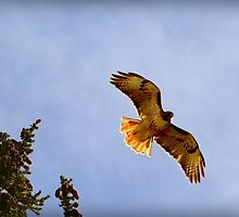 Red Tailed Hawk by Danielle Marie Photography