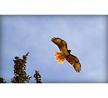 Red Tailed Hawk Photographic Print