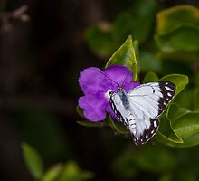 Male Caper White Butterfly Open Wings by JLOPhotography