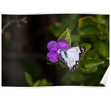 Male Caper White Butterfly Open Wings Poster