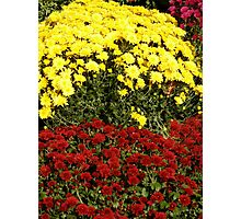 Yellow And Rust Mums Photographic Print