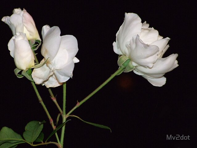 White Rose by Mv2dot