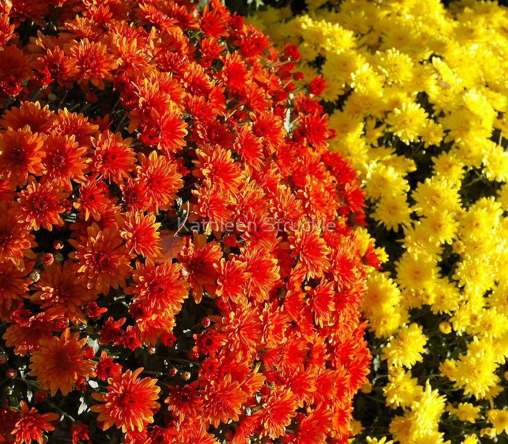 Fall Mums by Kathleen Struckle