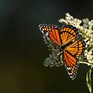Viceroy Butterfly Bathed in Sunlight by Bonnie T.  Barry