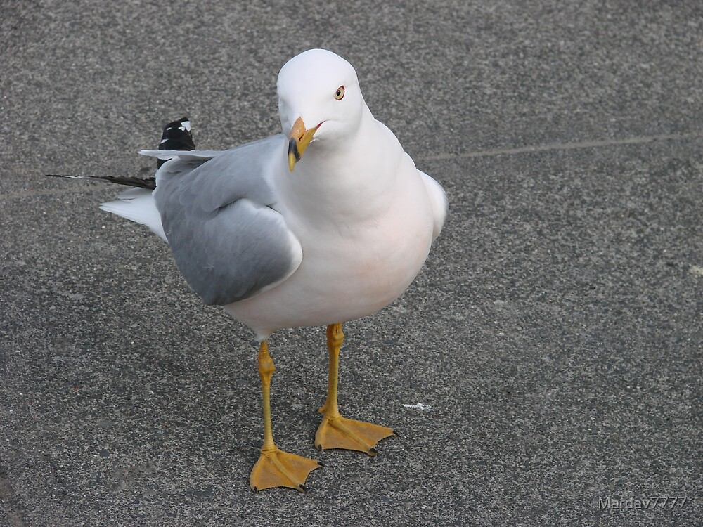 Curious seagull by Mardav7777