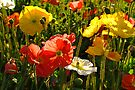 Iceland Poppy - Wagga Wagga by Darren Stones