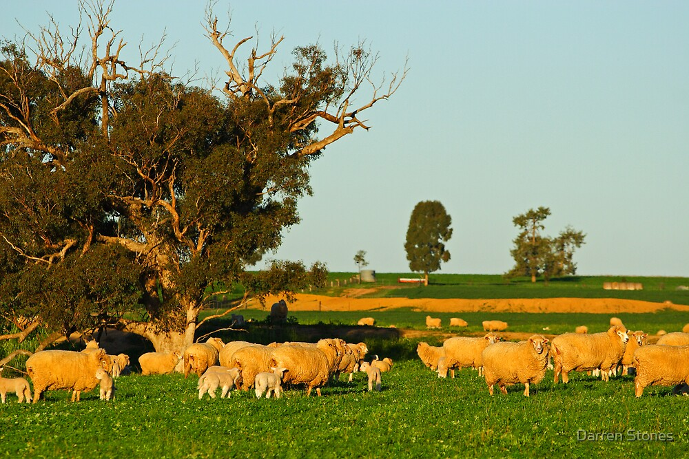 Sheep grazing near Grenfell by Darren Stones
