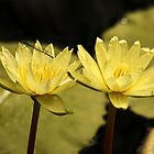Yellow Water Lilies and Damselfly by AnnDixon