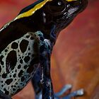 Dartfrog close up by AngiNelson