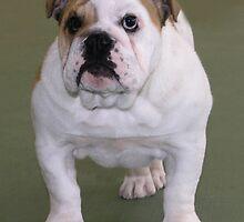 Bulldog by Rebecca Newton