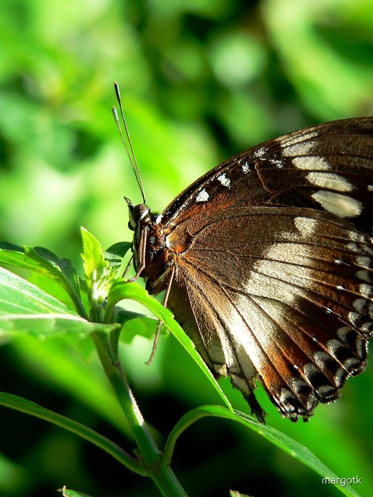 Oleander Butterfly by margotk