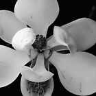 southern magnolia_bw by daniels