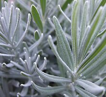 Frosted Lavender by Jason O'Reilly