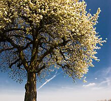 blossoming cherry tree in april by peterwey