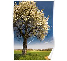 blossoming cherry tree in april Poster