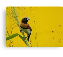 Chestnut-breasted Finch Canvas Print