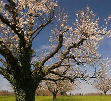 Blossoming trees in spring. by peterwey