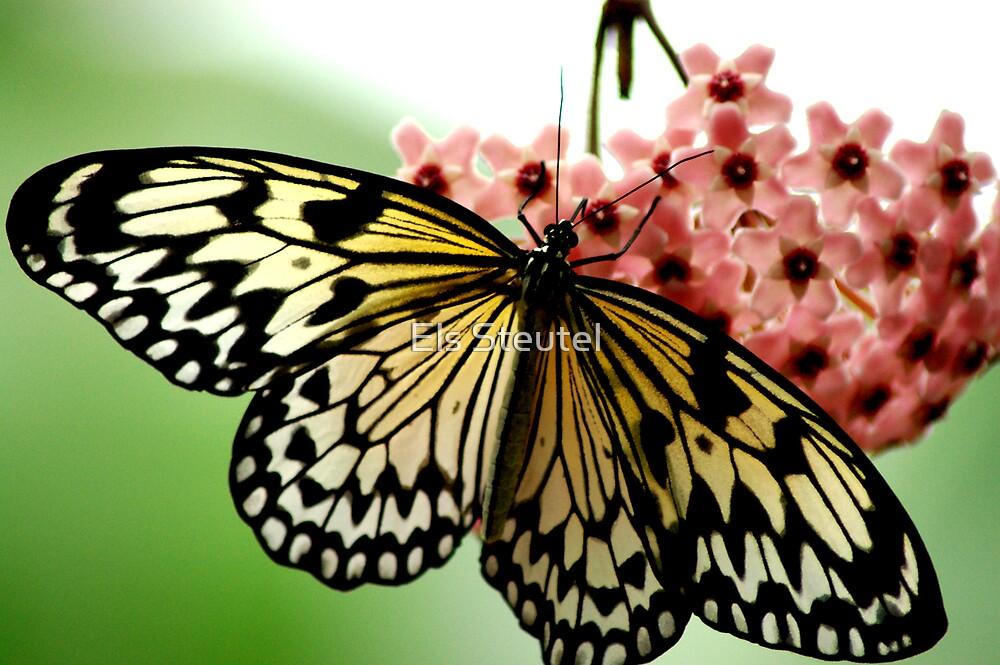 butterfly 4 by Els Steutel