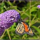 Monarch on a Carpet of Purple by Deb  Badt-Covell