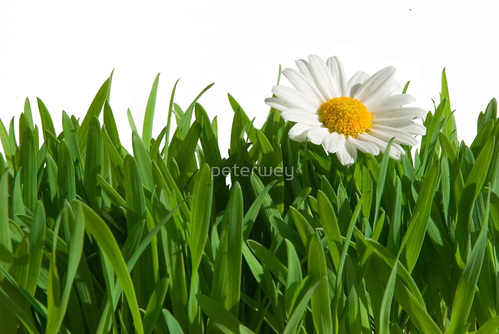 Isolated green grass with daisy. by peterwey