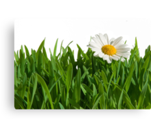Isolated green grass with daisy. Canvas Print