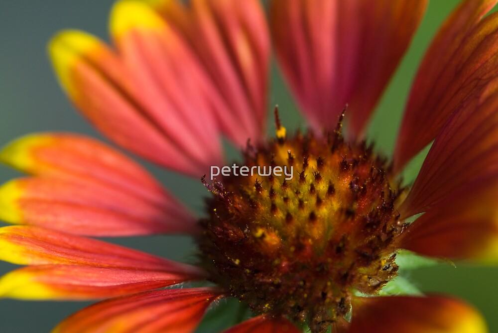 Macro flower. by peterwey