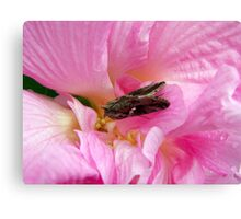 moth on a confederate rose Canvas Print