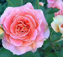 Pink & Yellow Roses by jenndes