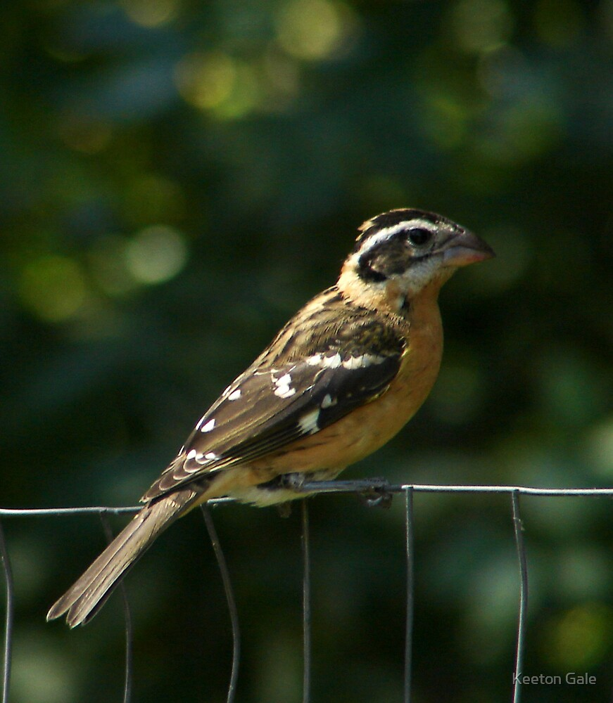 Black Headed Grosbeak  by Keeton Gale