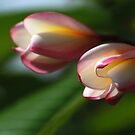 Visions of Frangipani by Bonnie T.  Barry