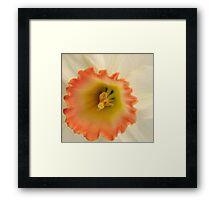 Peach & White Daffodil Framed Print