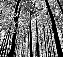 Tall Trees by GalleryThree