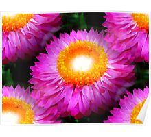 The Wallaby Cherry Daisy Flower Poster