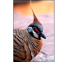 Spinnifex Pigeon Photographic Print