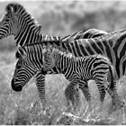 ZEBRA FAMILY IN BLACK & WHITE -  BURCHELL'S ZEBRA – Equus burchelli – Bontkwagga by Magaret Meintjes