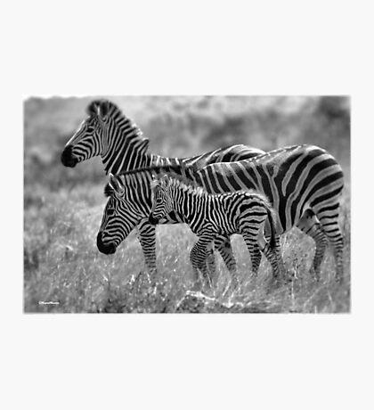 ZEBRA FAMILY IN BLACK & WHITE -  BURCHELL'S ZEBRA – Equus burchelli – Bontkwagga Photographic Print