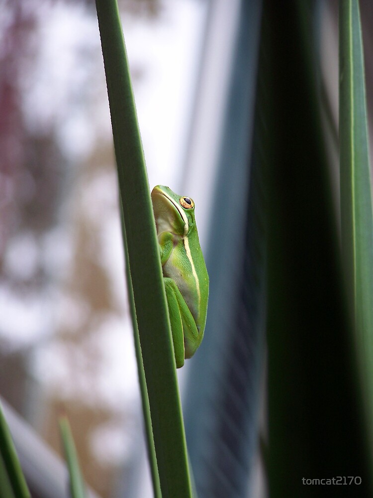 tree frog again by tomcat2170