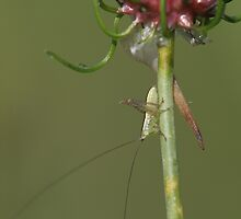 baby grasshopper by Christopher  Ewing