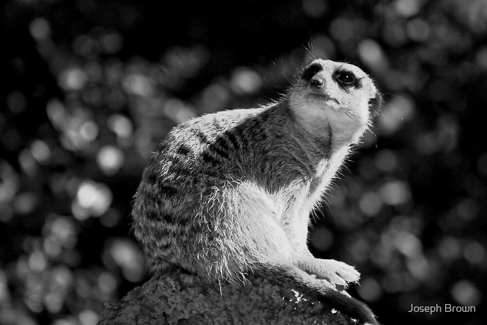 Meerkat by Joseph Brown