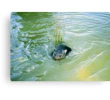 Baby Wombats Can Swim! Canvas Print