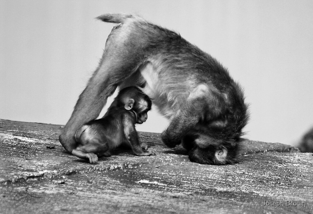 Monkey love by Joseph Brown