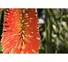 My Red Hot Poker Photographic Print