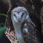 Barn owl .Tyto alba by Donovan wilson